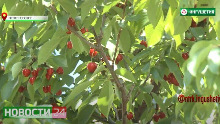 В  «Сад — гигант Ингушетия» собирают урожай черешни.